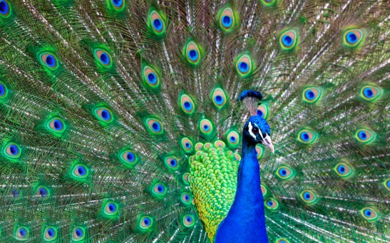 indian-bird-peacock-hd-wallpapers